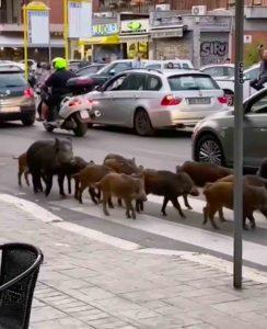Cinghiali a Roma in via Trionfale